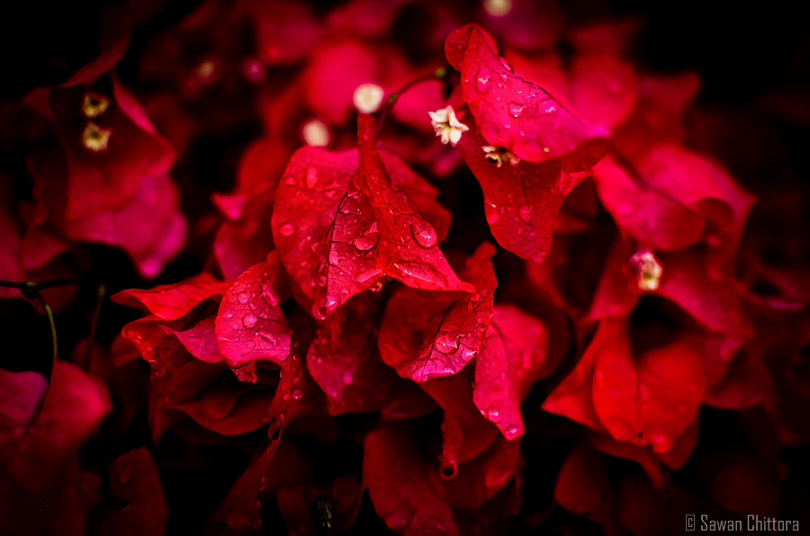 ~ After the Rain ~ #Wallpaper #Monsoon #Bougainvillea #RareColor